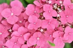 Hydrangea pink flower Stock Image