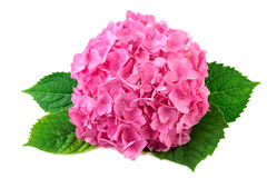 Hydrangea pink flower with green leaf on white Stock Images