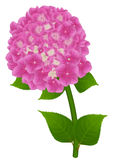 Hydrangea pink. Pink flower of hydrangea (hortensia), on an white background Stock Photos