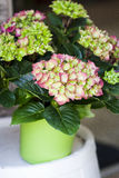 Hydrangea. Pink and green Hydrangea in pot Royalty Free Stock Images