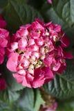Hydrangea. Pink Hydrangea in pot . close detail Stock Photos