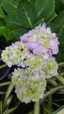 Hydrangea. Pink and purple hydrangea flower Royalty Free Stock Photo