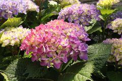 Hydrangea, a pink and purple flower stock image