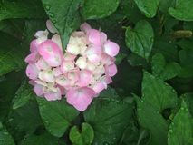 Hydrangea Royalty Free Stock Photos