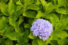 Hydrangea plant Stock Images