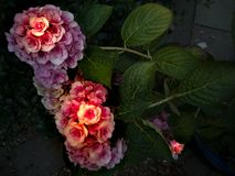 Hydrangea emerging from the night Royalty Free Stock Images