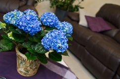 Hydrangea plant in a living room Royalty Free Stock Image