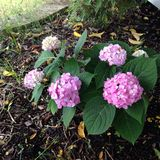 Hydrangea plant Royalty Free Stock Images