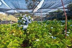 Hydrangea planter. In the garden Royalty Free Stock Photo
