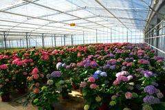 Hydrangea plants Stock Images