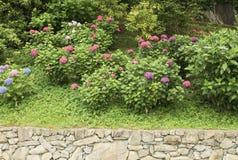 Hydrangea plants in a garden Stock Photography