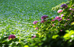 The hydrangea by the pond. Scenery of the hydrangea by the pond among the green Stock Photo