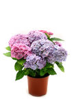 Hydrangea in the pot Royalty Free Stock Images