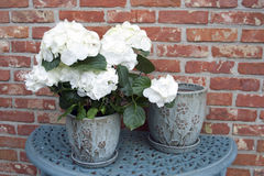 Hydrangea in pot Stock Image