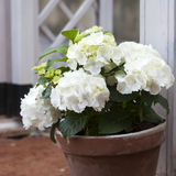 hydrangea in the pot Royalty Free Stock Photography