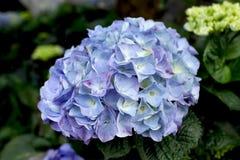 Hydrangea pourpré et bleu Photographie stock libre de droits