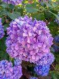 Hydrangea is purple, blue, lilac flowers. Hydrangea in summer stock image
