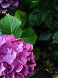 Hydrangea Stock Images
