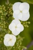 Hydrangea quercifolia flowers Royalty Free Stock Photo