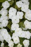 Hydrangea quercifolia flowers Stock Image