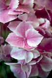 Hydrangea - Ravel Stock Images