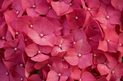 Hydrangea red flower Stock Image