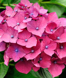Hydrangea red flower. At spring-time Stock Photo