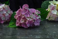 Hydrangea with reflection and water drops royalty free stock photos