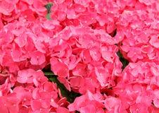 Hydrangea rosado Foto de archivo libre de regalías