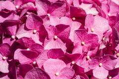 Hydrangea rosado Imágenes de archivo libres de regalías