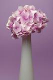 Hydrangea rosado Fotos de archivo