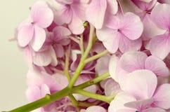 Hydrangea rosado Imagen de archivo