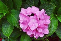 Hydrangea rosado Imagenes de archivo