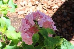 Hydrangea rose photos stock