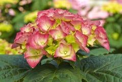 Hydrangea rose photo stock