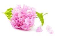 Hydrangea rose image libre de droits