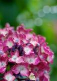 Hydrangea rosso Fotografia Stock