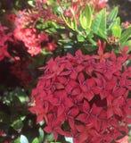 Hydrangea rosso Immagine Stock