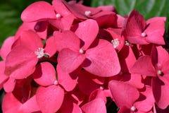 Hydrangea rosso Immagini Stock Libere da Diritti