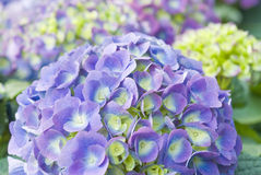 Hydrangea roxo Fotos de Stock Royalty Free
