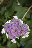 Hydrangea sargentiana flower in a garden Royalty Free Stock Photography