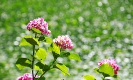 The hydrangea and scenery with the pond. Scenery with the hydrangea and the pond which light reflects on the surface of the water Royalty Free Stock Photos