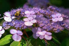 Hydrangea serrata flowers royalty free stock image