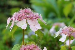 Hydrangea serrata Royalty Free Stock Photos