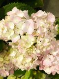 Hydrangea serrata `Rosea `.is a species of flowering plant in the family Hydrangeaceae, native to mountainous regions of Korea an. D Japan royalty free stock photo