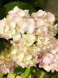 Hydrangea serrata `Rosea `.is a species of flowering plant in the family Hydrangeaceae, native to mountainous regions of Korea an. D Japan royalty free stock images