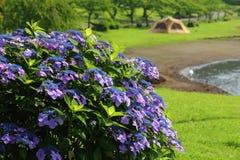 Hydrangea. At Shidaka-lake  campground Royalty Free Stock Photo