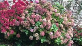 Hydrangea shrub in the fall. Pink and purple blooms of Hydrangea shrub in the fall, UK stock video