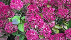 Hydrangea shrub in the fall. Pink and purple blooms of Hydrangea shrub in the fall, UK stock video footage