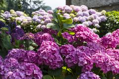 Hydrangea shrub in full bloom royalty free stock images
